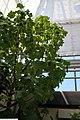 Hibiscus brackenridgei 2zz.jpg