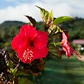 Hibiscus rouge de Tubuai.jpg
