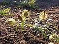 Hibiscus trionum sl54.jpg