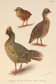 Himalayan Blood Partridge by Henrik Grönvold.png