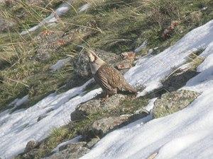 Himalayan snowcock - Image: Himalayan Snowcock