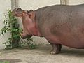 Hippo eating (2666958186).jpg