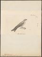 Hirundo cyanoleuca - 1700-1880 - Print - Iconographia Zoologica - Special Collections University of Amsterdam - UBA01 IZ16700167.tif