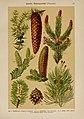 Hoffmann-Dennert botanischer Bilderatlas (Taf. 13) (6424987969).jpg