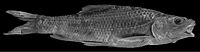 Holotype of Barbus continii (i.e. Carasobarbus canis x Barbus longiceps) - ZooKeys-339-001-g029.jpg