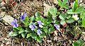Hookedspur violet (Viola adunca) - Flickr - brewbooks (1).jpg
