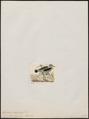 Hoplopterus albiceps - 1820-1860 - Print - Iconographia Zoologica - Special Collections University of Amsterdam - UBA01 IZ17200165.tif
