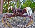 Horned Ghost Crab (8626790684).jpg