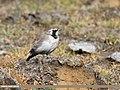 Horned Lark (Eremophila alpestris) (30022713617).jpg