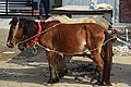 Horses with Carriage at Agrabad (08).jpg