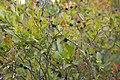 Huckleberries (23303209244).jpg