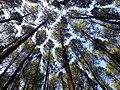 Huta Pinus, Mangunan, Dlingo.jpg