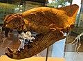 Hyaenodon horridus skull.jpg