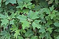 Hydrangea quercifolia IMG 9767.jpg