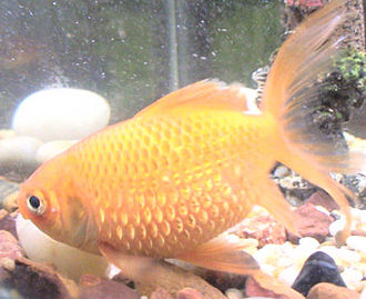 Dropsy (fish disease) - A goldfish with fish dropsy
