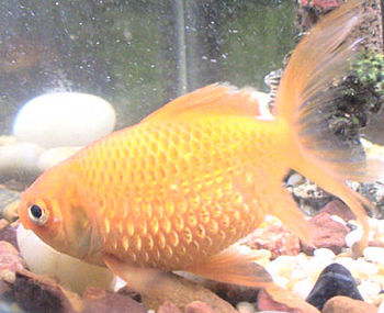 Photo depicting a Goldfish with Fish Dropsy (S...
