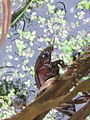 Hydrous piceus (Great Silver Water Beetle), Arnhem, the Netherlands.jpg