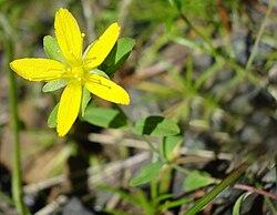 Hypericum humifusum W.jpg