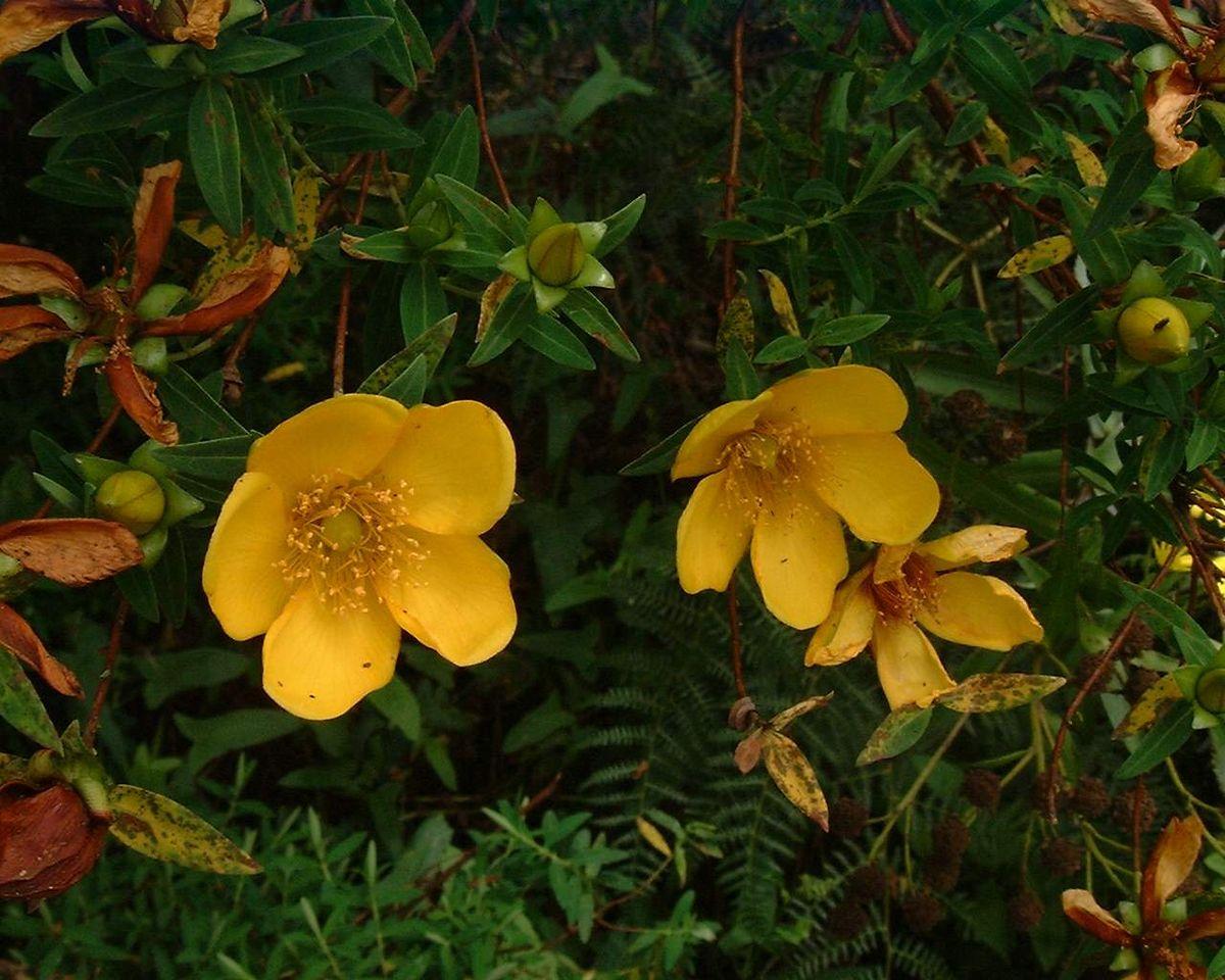 Fleur jaune wikip dia - Comment enlever le jaune d une decoloration ...