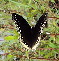 Hypolimnas bolina - Great Eggfly at Thillankeri 01.JPG