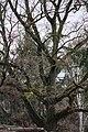 ID 1386 Quercus 02.jpg