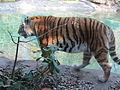 ITALY - Tigre Siberiana - Parco Natura Viva - Verona 1.JPG