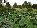IUB Arboretum - lotus pond - P1100173.JPG