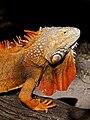 Iguana iguana (orange male).jpg