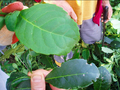 Ilex Paraguariensis big and small leaves.png
