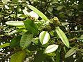 Ilex latifolia 5.JPG
