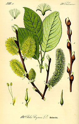 Sal-Weide (Salix caprea), Illustration