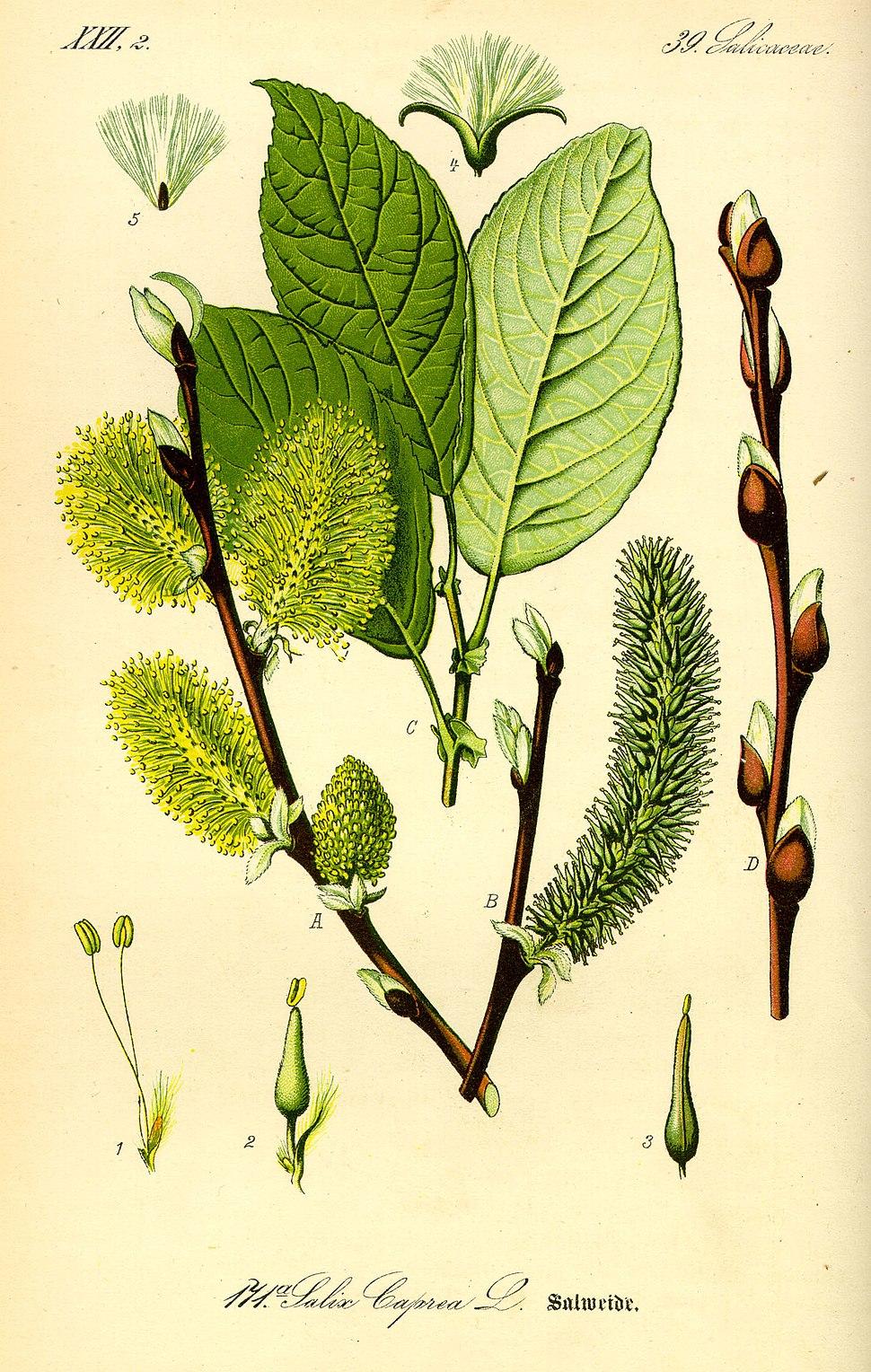 Illustration Salix caprea0