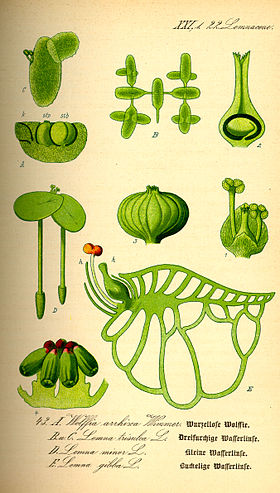 Illustration Wolffia arrhiza0.jpg