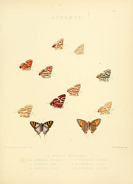 Illustrations of diurnal Lepidoptera 25.jpg