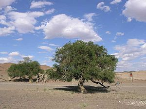 Ulmus pumila - Siberian elms in the Gobi Desert of Mongolia