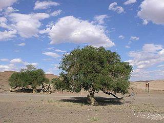 <i>Ulmus pumila</i> Species of tree