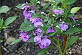 Impatiens balsamina Blackberry Trifle 0zz.jpg