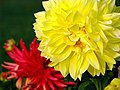 India - Srinagar - 026 - flowers at Nishat Bagh Mughal Gardens (3919402718).jpg