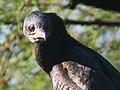 Indian Cormorant, Bharatpur - close up I4 IMG 8515.jpg