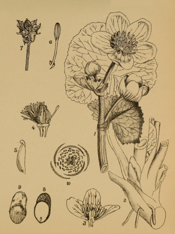 Indian Medicinal Plants - Plate 5 - Caltha palustris.png
