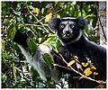 Indri (30228699254).jpg