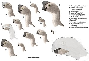 Nemegtomaia - Restorations of oviraptorid heads shown to scale; J is Nemegtomaia