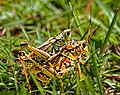 Insects everglades grasshoppers sharkvalley florida (17877013952).jpg