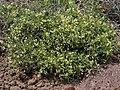 Intermountain milkwort, Polygala intermontana (46510619975).jpg