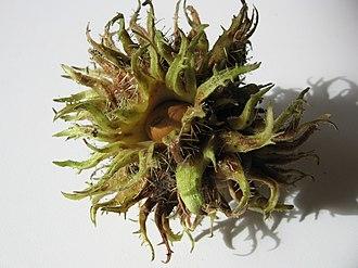 Corylus colurna - Image: Involucre d'un noisetier de Bysance