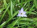 Ipheion uniflorum Wisley Blue.jpg