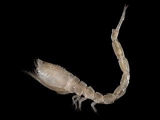 Cumacea crustacean order