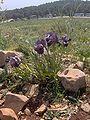 Iris haynei01 Jusmine.JPG