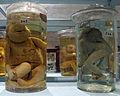Istituto di anatomia patologica, museo, campioni 04 feti malformati.JPG