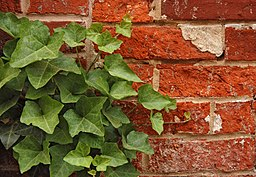 Ivy Hedera Red Brick Wall 2892px